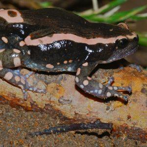 Phrynomantis Bifasciatus Toad Venom For Sale