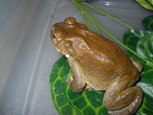 Bufo Bufo Toad Venom for sale